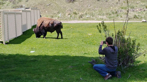 Bison in Mammoth Springs
