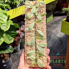Epiphytic Dischidia Plaque | Dischidia oiantha variegata - from Groovy Plants Ranch - SALT effect - Mother's Day 2020 - Mother's Day 2020 gift list - gifts for mom - shop small in Ohio - shop local in Columbus
