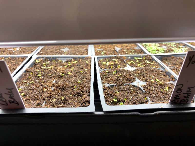 Starting your seeds indoors for spring herbs