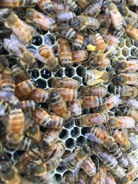 Getting our first Honey Bee package - New Beekeepers part 2