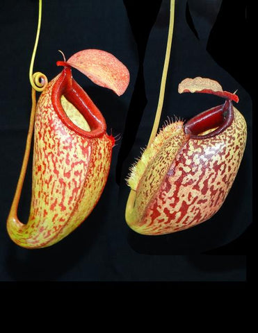 Nepenthes merrilliana x aristolochioides