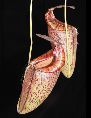 Nepenthes spectabilis x tenuis