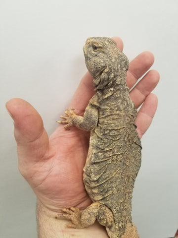 Banded Uromastyx