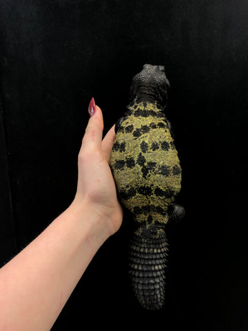North African Banded Uromastyx