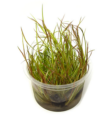 ABC Juncus repens