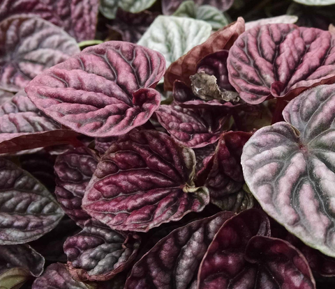 Peperomia 'Red Ripple'