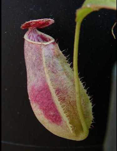 Nepenthes tomoriana