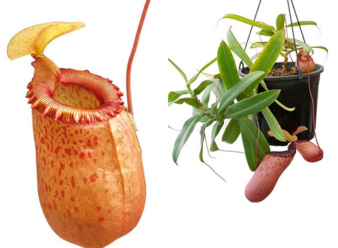 Nepenthes sibuyanensis