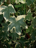 Variegated Tree Ivy