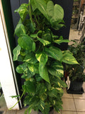 Golden Pothos (Totem)