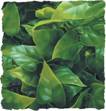 Zoo Med Natural Bush Plants - Mexican Phyllo