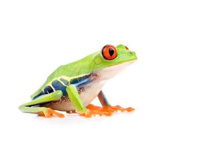 Red Eye Green Treefrog (CBB)