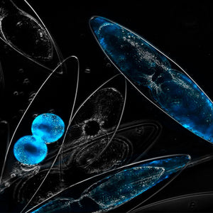 bioluminescent dinoflagellates at night under magnification