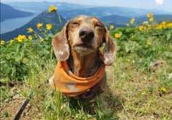 Beginners Guide To Safely Hiking or Backpacking with Your Dog