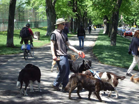 Walking many dogs.