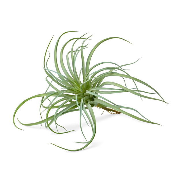 Social Studies Florals Fresh Airplant Bundle