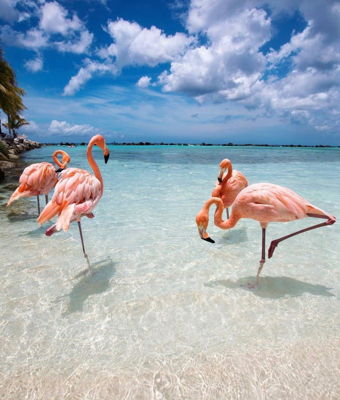 Flamants roses à la plage