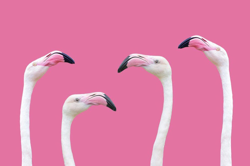 Quatre flamants roses au plumage blanc sur fond rose