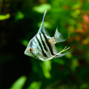 Buy fish, aquarium fish like gold fish, tetra, fighter fish, algae eater, shrimps, snails etc. online in Kathmandu Nepal.