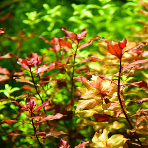 Buy aquarium plants or aquatic plants online in Kathmandu Nepal -nepalaquastudio