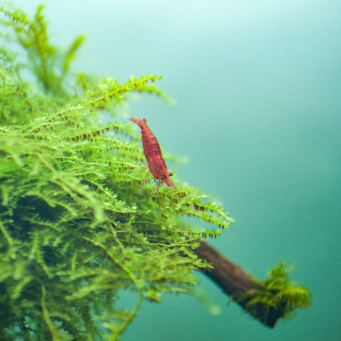 Red Cherry Shrimp - nepalaquastudio