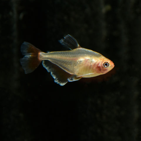 Red Minor Serpae Tetra - nepalaquastudio