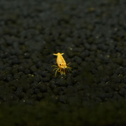 Yellow Shrimp - nepalaquastudio