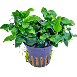 Aquarium plants in Nepal