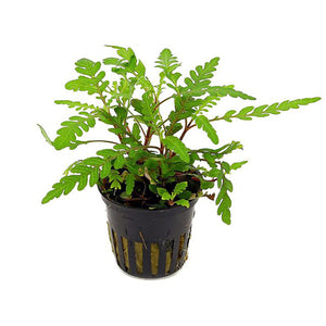 Buy Aquarium plant Hygrophila pinnatifida online in Nepal - nepalaquastudio