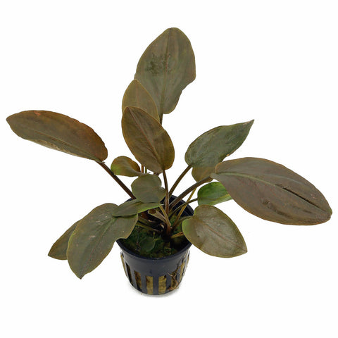 buy aquarium plants in Nepal