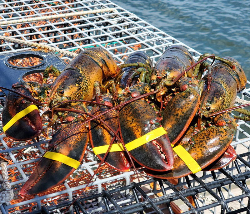 30 Live Maine Lobsters