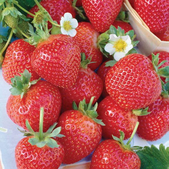Strawberry Bundle of 25 Plants