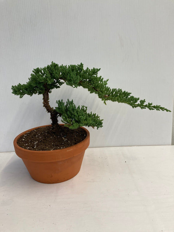 Bonsai Juniper in Clay 7
