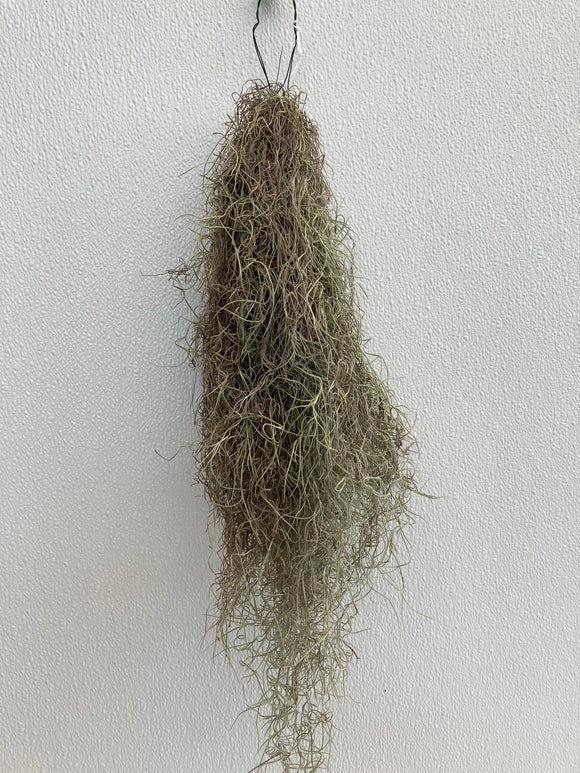 Air Plant Live Spanish Moss Clump