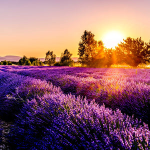 Lavender Sunset *FALL SEASONAL*