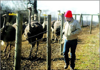 Todd checks the ostriches