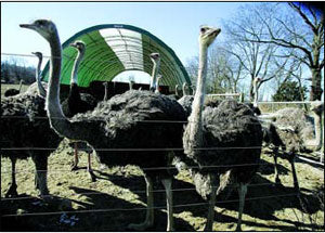 ostriches near their shelter