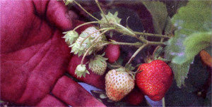 nj strawberries from Abma's