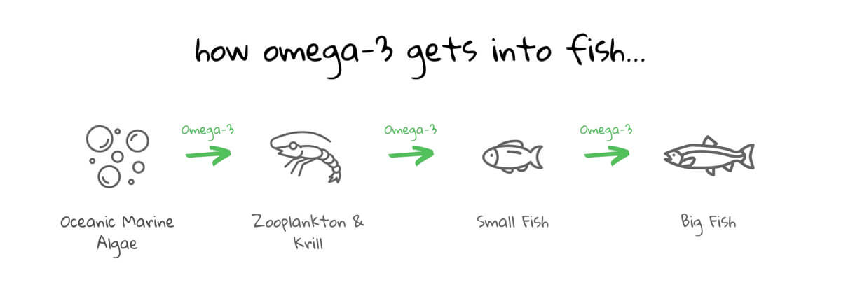 diagram showing how all omega-3 comes from algae