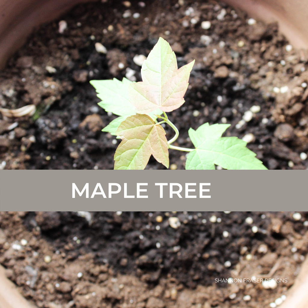 Young maple tree in pot