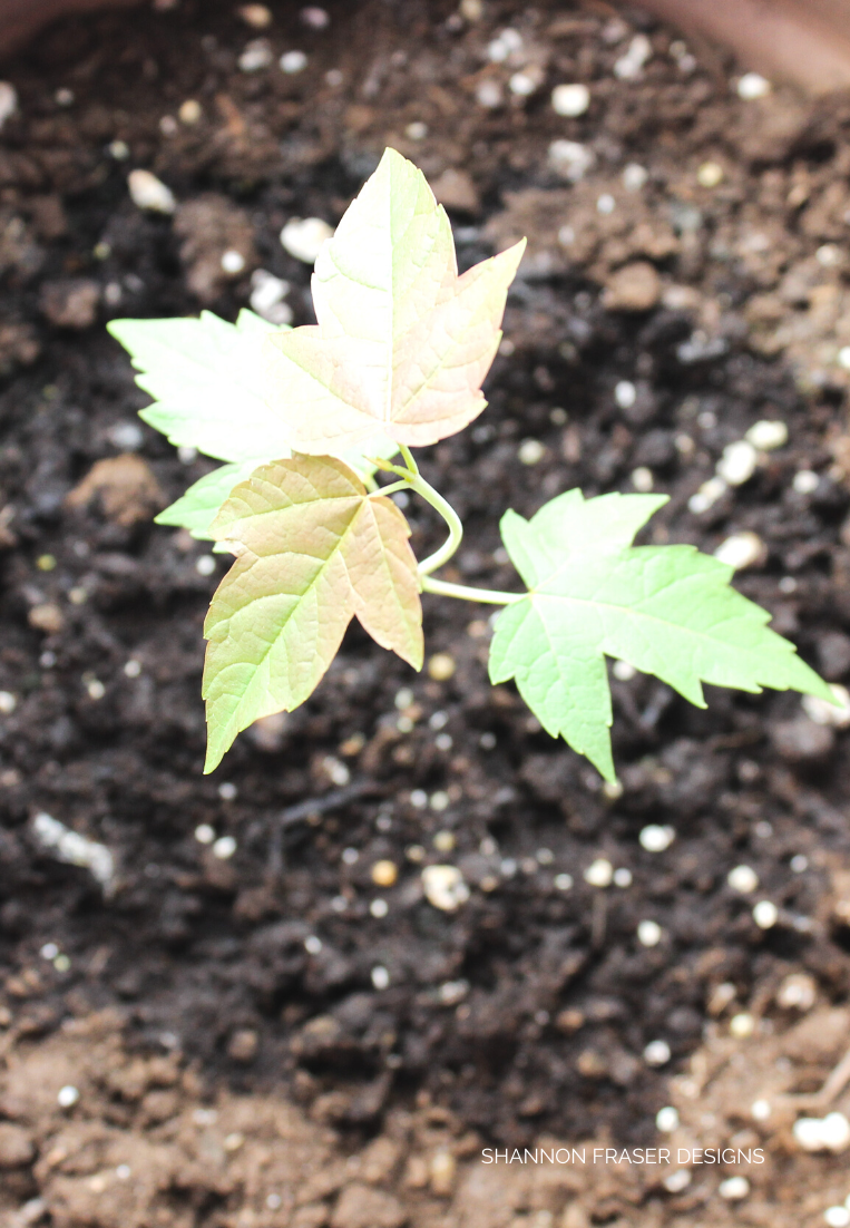 Young maple tree plant in pot