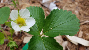 Fragaria virginiana - Wild Strawberry