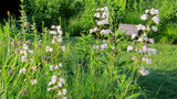 Penstemon digitalis - Beardtongue