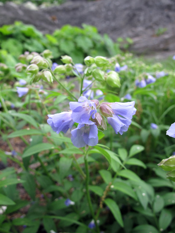 Polemonium reptans - Creeping Jacob's Ladder