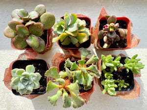 "Add-On Gift: Mini 2"" Succulent (Assorted)"