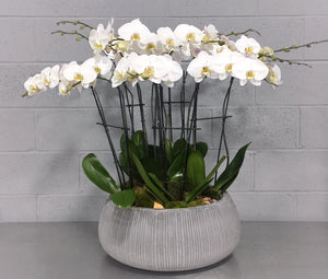 Quintuple White Phalaenopsis Orchids in Cement