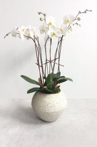 Triple White Phalaenopsis Orchids  in Sand Dusk