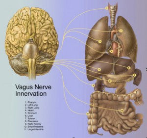 Bronze - Vagus Nerve, Emotions & Mindful Practice