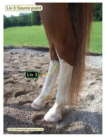 Equine acupressure - Liv 3 for mares