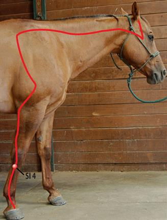 SI 4 acupoint for horses